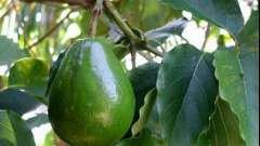 Базове масло - авокадо