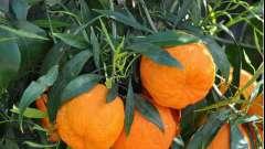 Ефірна олія гіркого апельсина