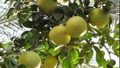 Ефірна олія грейпфрута.