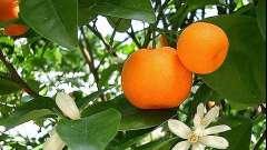Ефірна олія мандарина.