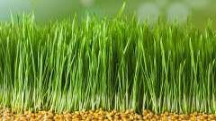 Масло зародків пшениці: властивості і користь